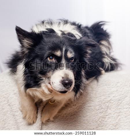border collie in studio - stock photo