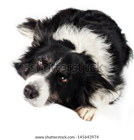 border-collie in studio on white background