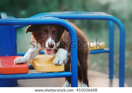 Border Collie in the playground
