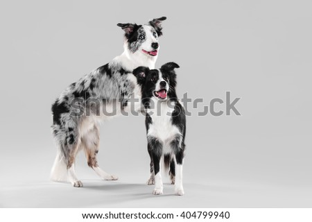 Border Collie is based on the back