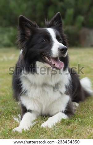 Border collie is lying on the lawn.  - stock photo