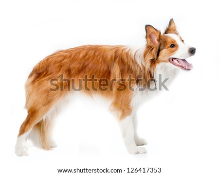 border collie isolated