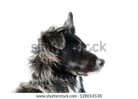 border collie isolated on white - stock photo