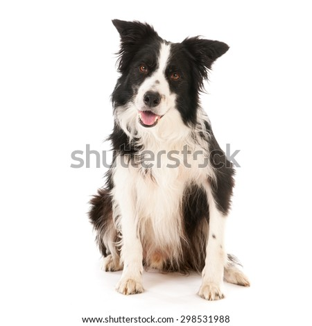 Border collie isolated over white background - stock photo
