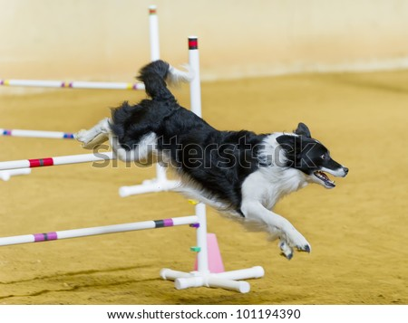 Border Collie jumping hurdles - stock photo