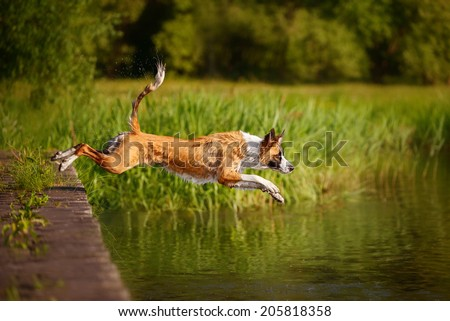 Border Collie jumping in the water - stock photo
