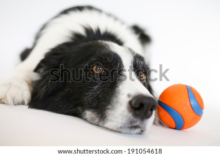 Border Collie laying down looking forward with an orange ball - stock photo