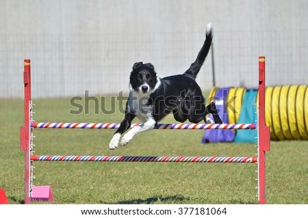 Border Collie Leaping Over a Jump at a Dog Agility Trial - stock photo