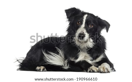 Border Collie lying down (2 years old) - stock photo