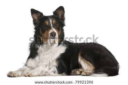 Border Collie lying in front of white background - stock photo