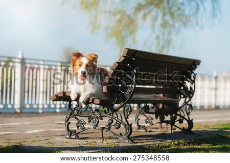 Border Collie lying on bench - stock photo
