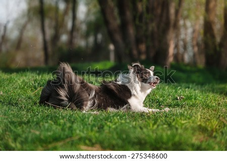 Border Collie lying on the grass - stock photo