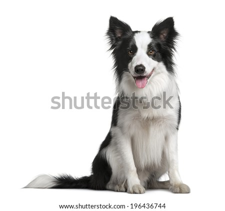 Border Collie (18 months old) - stock photo