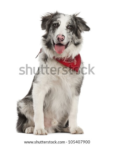 Border Collie, 7 months old, sitting against white background