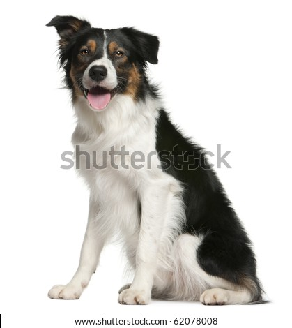 Border collie, 12 months old, sitting in front of white background