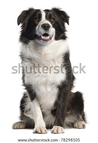 Border Collie, 14 months old, sitting in front of white background - stock photo