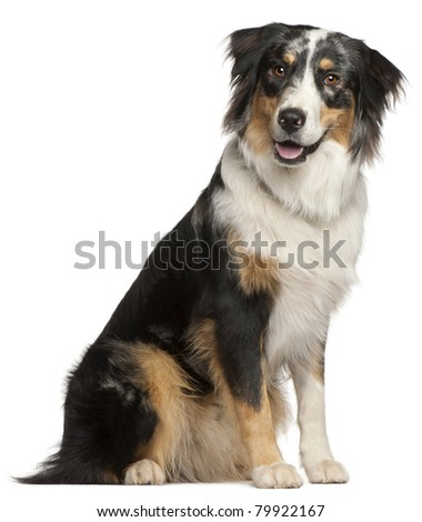 Border Collie, 9 months old, sitting in front of white background
