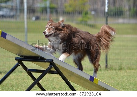 Border Collie on a Teeter Totter at a Dog Agility Trial - stock photo