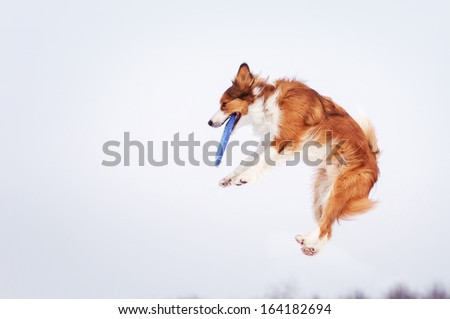 Border Collie on a winter walk - stock photo