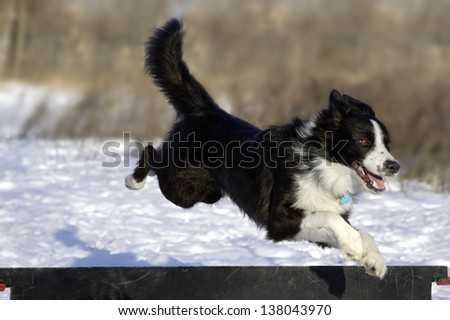 Border Collie on agility - stock photo