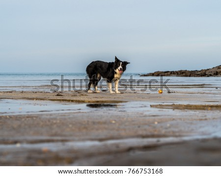 Border Collie on beach and looking at camera in the sea playing