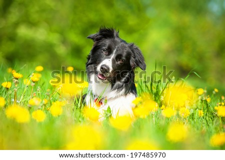 Border collie on the field with dandelions - stock photo