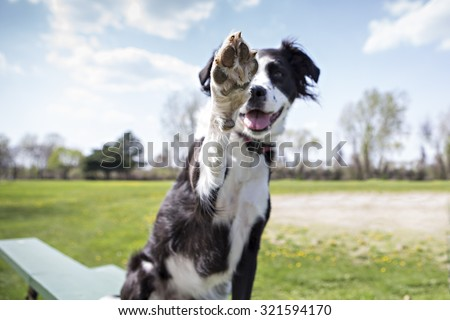 Border Collie outside giving high five to the camera