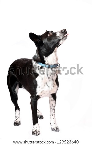 Border Collie Pet Dog Looking up - stock photo
