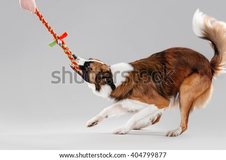 Border Collie pulling a rope