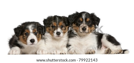 Border Collie puppies, 6 weeks old, in front of white background - stock photo