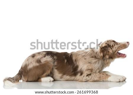 Border collie puppy - stock photo