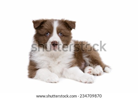 Border Collie puppy dog in front of a white background - stock photo