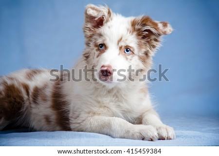 Border collie puppy in studio - stock photo