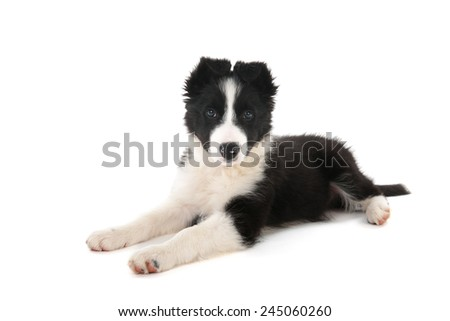 Border Collie puppy in studio isolated over white background