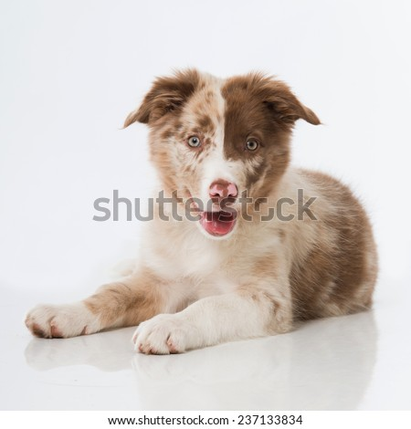 Border collie puppy isolated on white - stock photo
