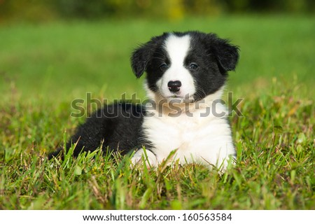 Border Collie puppy lying in a meadow