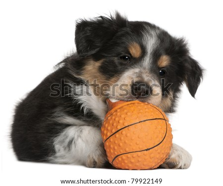 Border Collie puppy playing with toy basketball, 6 weeks old, in front of white background - stock photo