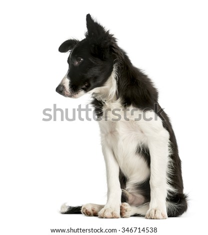 Border Collie puppy sitting in front of a white background