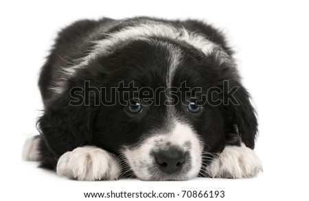 Border Collie puppy, 6 weeks old, lying in front of white background - stock photo