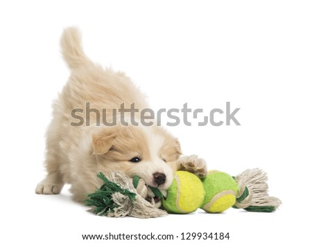 Border Collie puppy, 6 weeks old, playing with a dog toy in front of white background - stock photo