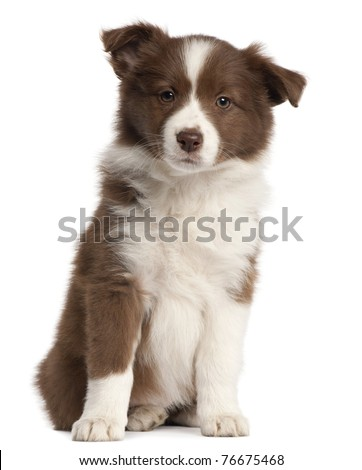 Border Collie puppy, 8 weeks old, sitting in front of white background - stock photo