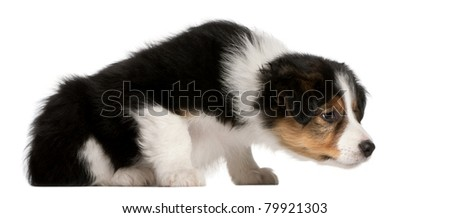 Border Collie puppy, 6 weeks old, sitting in front of white background