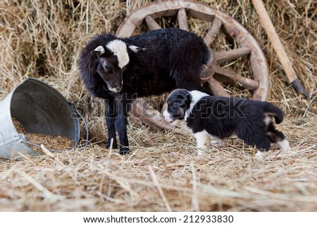 Border Collie puppy with lamb on hay - stock photo