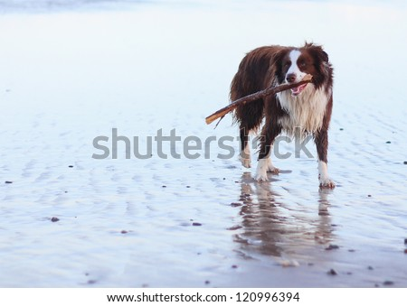 Border Collie pure breed dog on surf beach with stick in mouth - stock photo