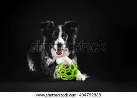 Border Collie put his head on the green ball
