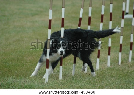 Border Collie racing through the weave poles in agility