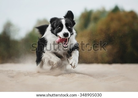 Border Collie running in the sand