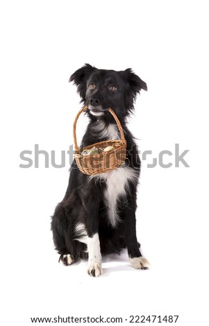 Border collie sitting and holding a basket on a white background