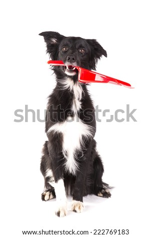 Border collie sitting and holding a broom tool on a white background