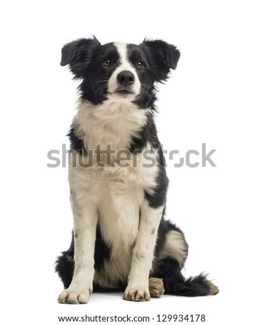 Border Collie sitting and looking away in front of white background